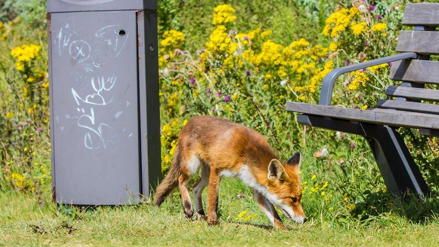 Füchse im urbanen Umfeld stellen entgegen einer landläufigen Meinung ein geringeres Risiko dar, Menschen mit dem Fuchsbandwurms zu infizieren, da sie seltener den Erreger tragen als ihre Artgenossen vom Lande.