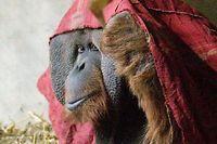 Die Wege von Orang-Utan und Mensch trennten sich vor 12 bis 16 Millionen Jahren.