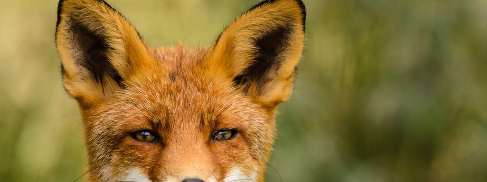 Der Fuchs hat in Luxemburger Wäldern für ein weiteres Jahr seine Ruhe.