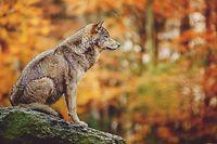 Le loup est de plus en plus présent dans les régions alpines et provençales en France. Il explore aussi des territoires moins familiers, comme l'Occitanie (Aude, Aveyron, Gard, Lozère) et des communes constatent une présence régulière du loup dans une zone entre Vosges et Meurthe-et-Moselle.