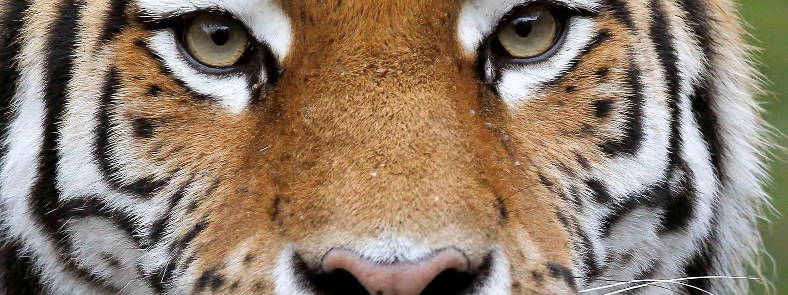 Ein Tiger hat im Zoo Zürich eine Pflegerin getötet.