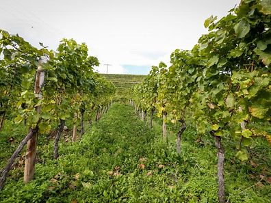 Some vines suffered this year due to the mild winter, low rainfall and above-average summer temperatures.