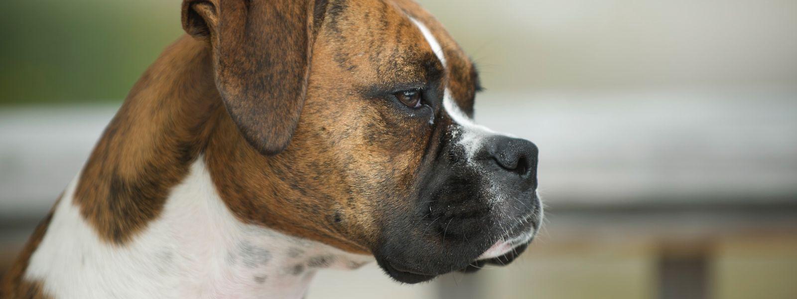 Kay Newmans Hund, ein Boxer namens Duke, überlebte den Flug mit Qantas Airways nicht.