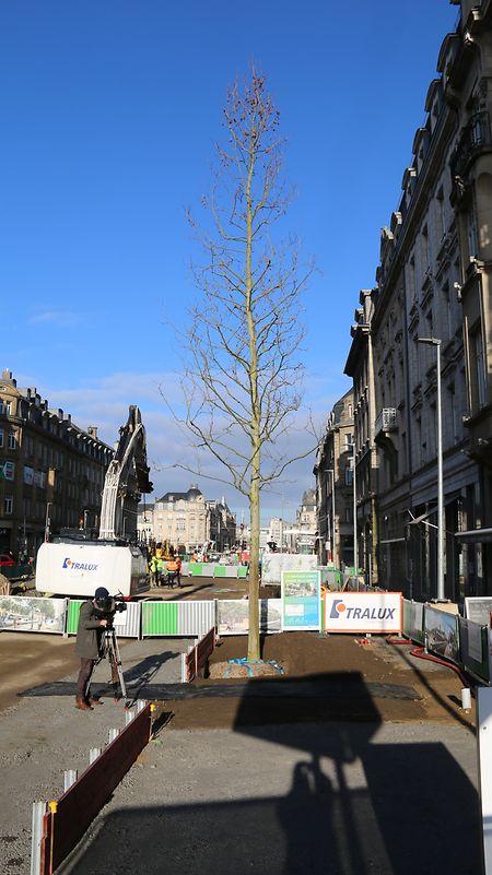 Die zehn bis zwölf Meter und 20 Jahre alten Platanen stammen aus einer niederländischen Baumschule.