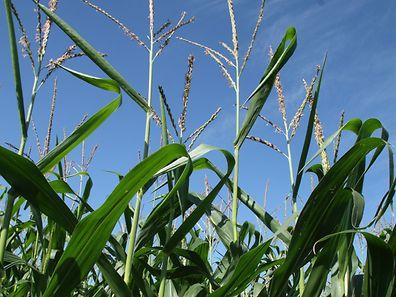 Monsanto ist für das umstrittene Pflanzenschutzmittel Glyphosat bekannt, mittlerweile verkauft das Unternehmen allerdings hauptsächlich Saatgut.