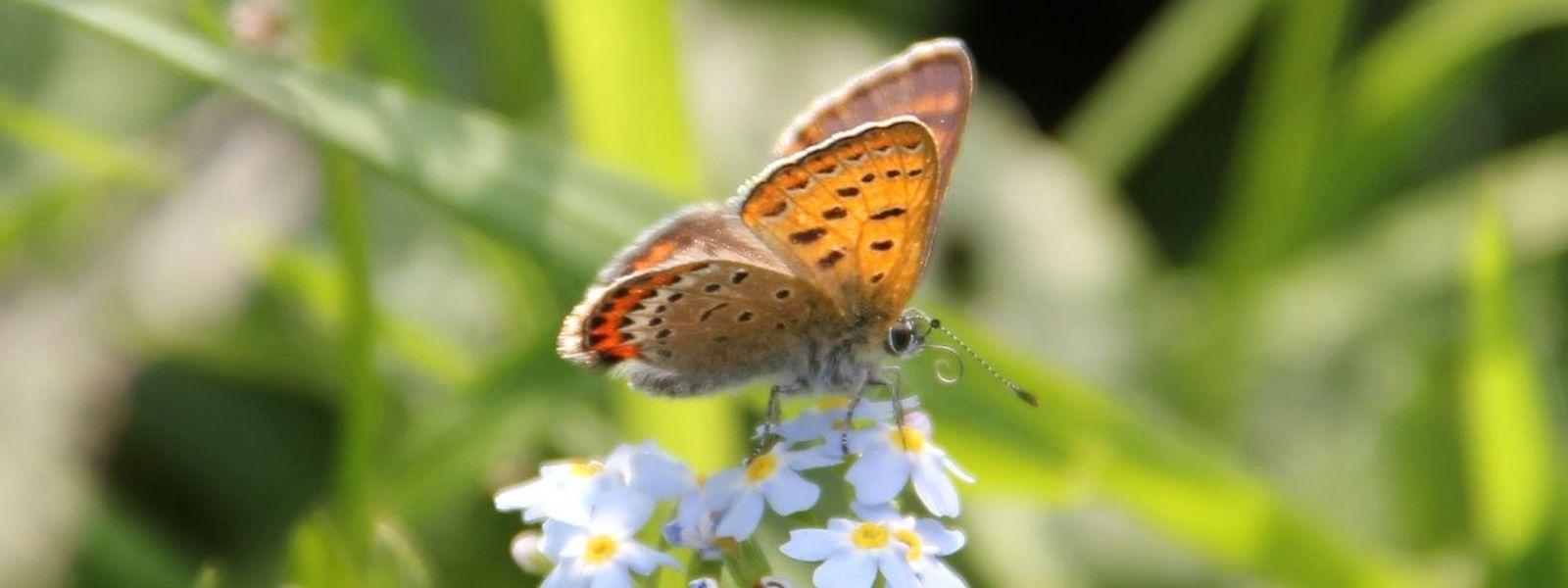 La réserve naturelle de Troisvierges est l'un des rares espaces où l'on peut encore voir papillonner le Cuivré de la bistorte.