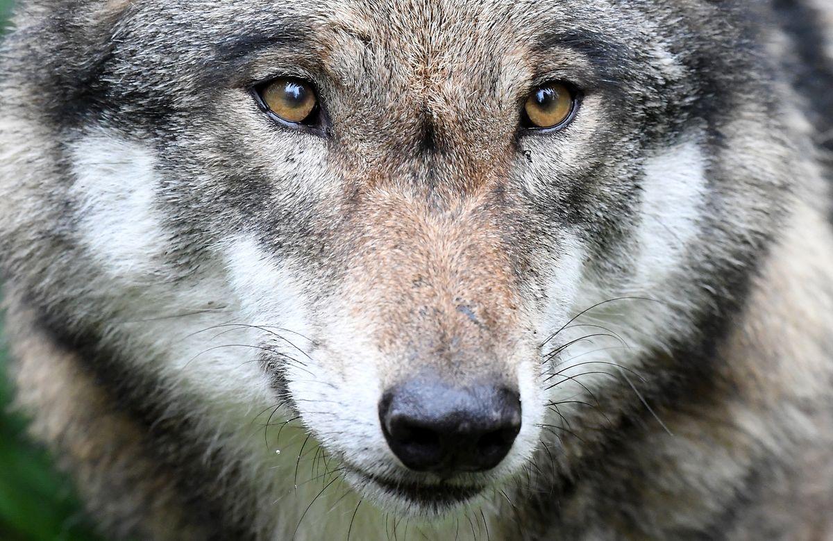 Ein Wolf steht in seinem Gehege im Wildpark Eekholt. Einst ausgerottet, durchstreifen Wölfe wieder Rheinland-Pfalz. Im Westerwald könnte sich ein erstes Rudel bilden.