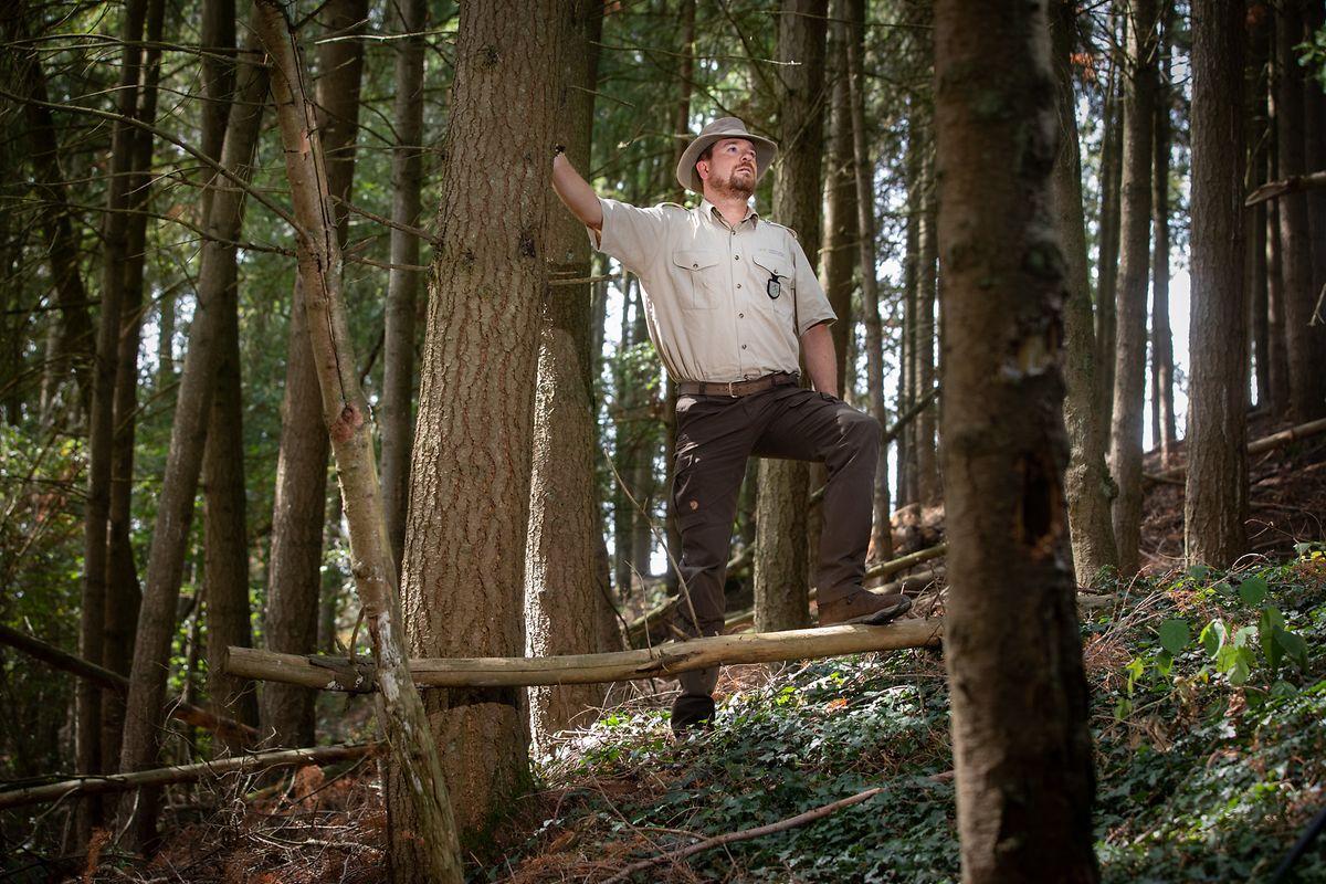 O biólogo Laurent Schley acredita que o Luxemburgo tem floresta e alimento suficientes para o lobo se fixar a título definitivo.