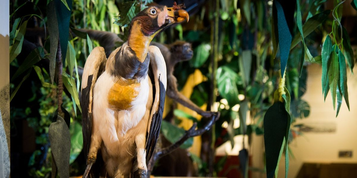 """Der """"Sarcoramphus Papa"""" der """"Von Orchideen, Kakao und Kolibris""""-Ausstellung im Naturmuseum"""