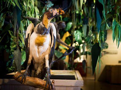 Naturmusée,Nicolas Bruck,Adler. Foto:Gerry Huberty