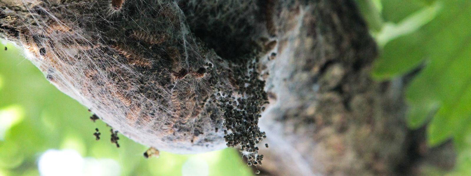 Die Nester des Eichenprozessionsspinners sollte man am besten meiden.