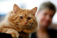Aslin, a Longhaired Manx, sits next to her trainer Debbie Metz of Bethesda, Maryland, during the preview for the CFA-Iams Cat Championship in New York October 15, 2008.  The cat show runs through the weekend at Madison Square Garden and includes show cats, trained cats and rescued cats looking for a home.  REUTERS/Chip East (UNITED STATES)