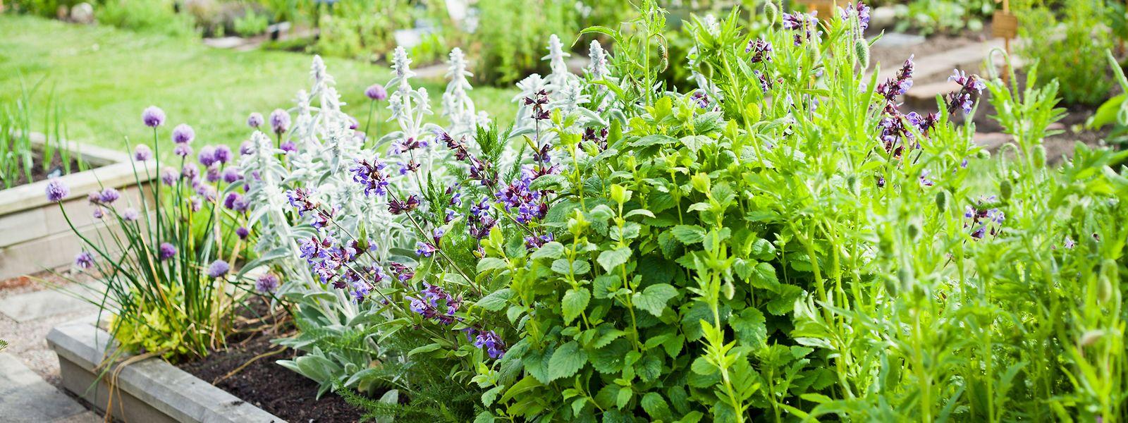 Die verschiedenen Kräuter, die Franziska Rubin in ihrem Buch erwähnt, lassen sich ganz leicht auch im heimischen Garten anbauen.