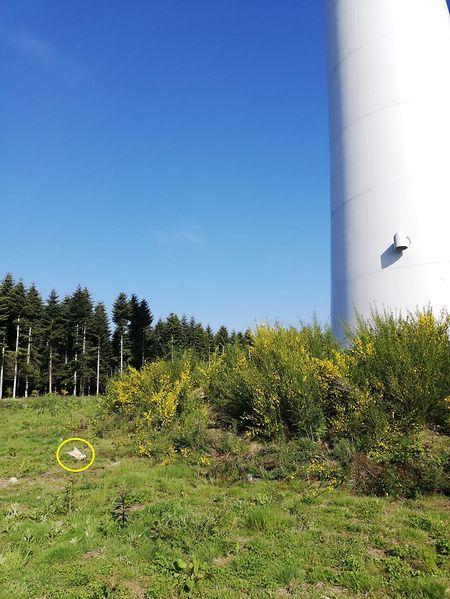 Wie auf dem Foto zu sehen ist, lag der tote Rotmilan unmittelbar neben der Windkraftanlage.