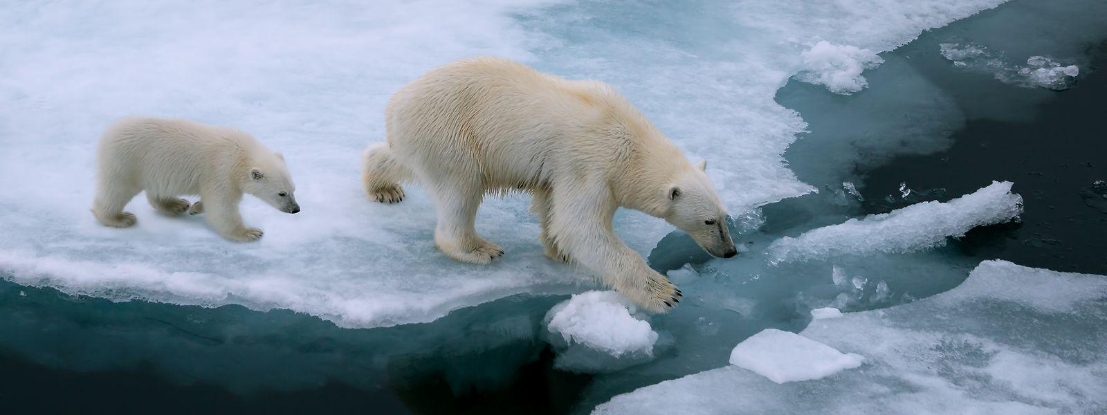 Das Abschmelzen des Eises stellt nicht nur für die Eisbären ein Problem dar.