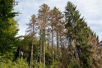 Bei einem Befall durch Borkenkäfer kann die Fichte sich nicht mehr ausreichend mit Nährstoffen versorgen. Dadurch verfärben sich die Kronen  rotbraun - nach wenigen Wochen stirbt der Baum ab.