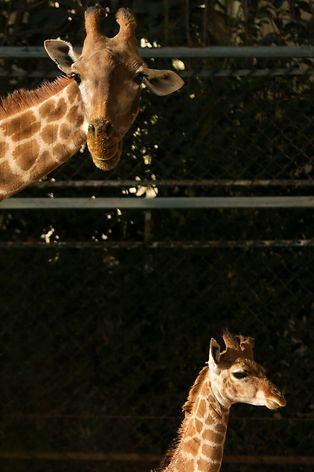 O Jardim Zoológico de Lisboa conta com uma nova habitante, uma cria de Girafa-de-angola (Giraffa camelopardalis angolensis). A cria nasceu no dia 16 de Novembro de 2017, depois de uma gestação de 15 meses, com quase 1,90 m de altura e uma pelagem única que a distingue de outras, 01 de fevereiro de 2018 em Lisboa. TIAGO PETINGA/LUSA