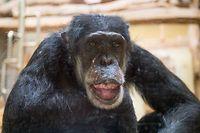 04.05.2021, Saarland, Saarbrücken: Schimpanse Jonny sitzt im Affenhaus des Saarbrücker Zoos. Jonny feierte gerade seinen 60. Geburtstag und ist damit einer der ältesten Schimpansen überhaupt. Foto: Oliver Dietze/dpa +++ dpa-Bildfunk +++