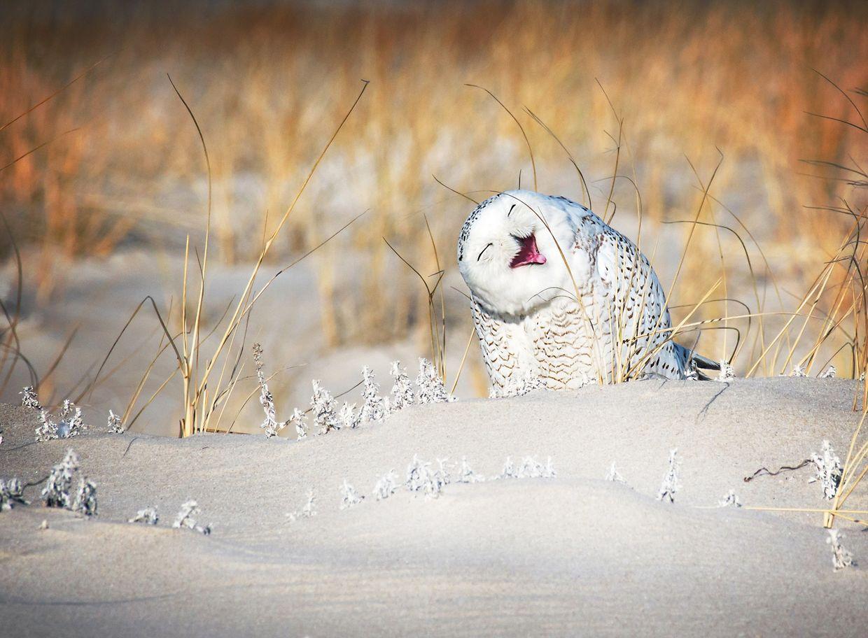A felicidade da coruja do Ártico ao ser escolhida para a fotografia.