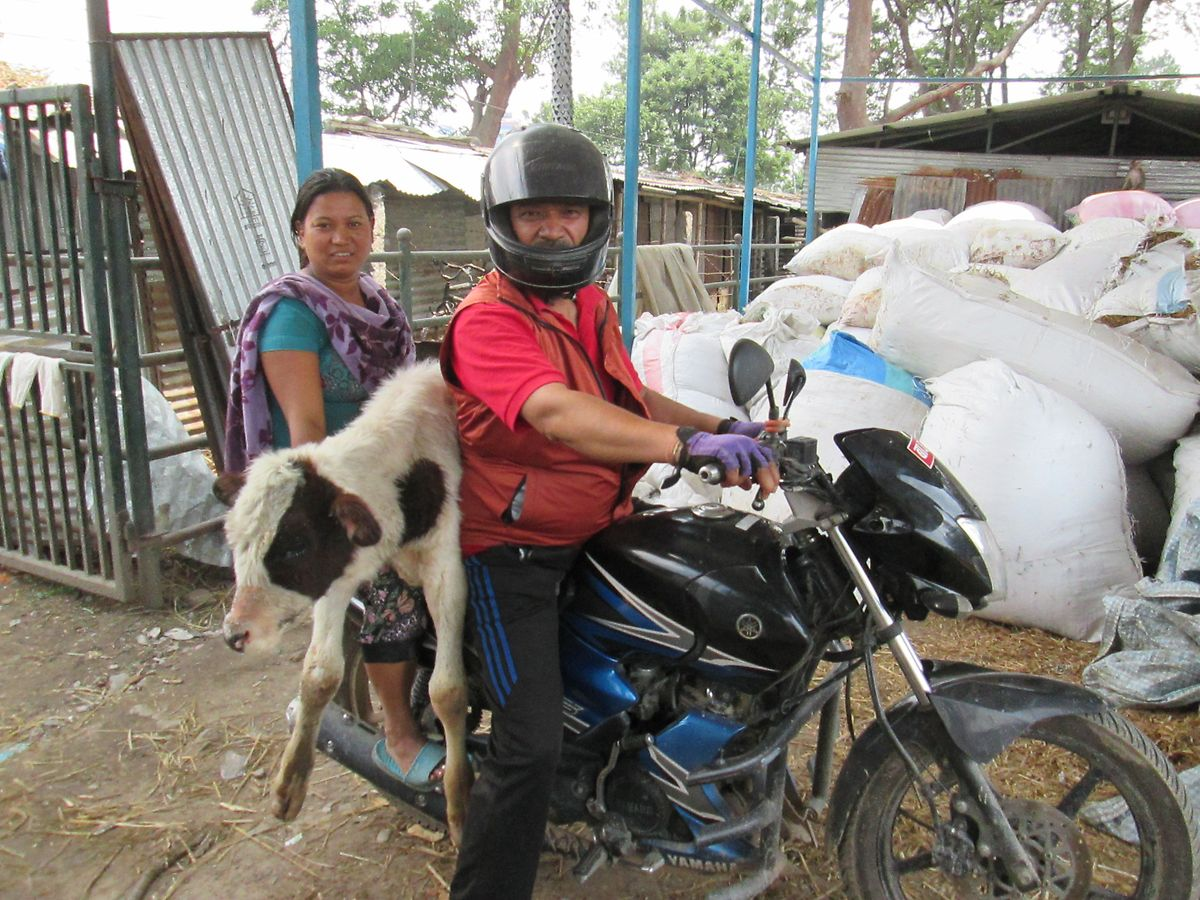 Ram Bahadur Neupane und eine Helferin transportieren auf dem Motorrad ein streunendes Kalb. Seit sechs Jahren rettet der 57-Jährige alle paar Tage Kühe von den Straßen der nepalesischen Hauptstadt Kathmandu und pflegt sie.