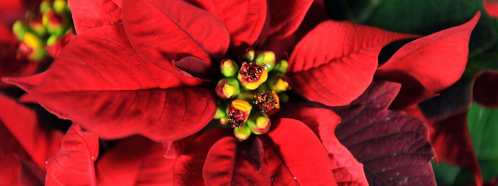 Nicht das Rot, sondern die gelben, vergleichsweise unscheinbaren Tupfen in der Mitte sind die Blüten des Weihnachtssterns. Bei den roten Blättern handelt es sich lediglich um eingefärbtes Laub.