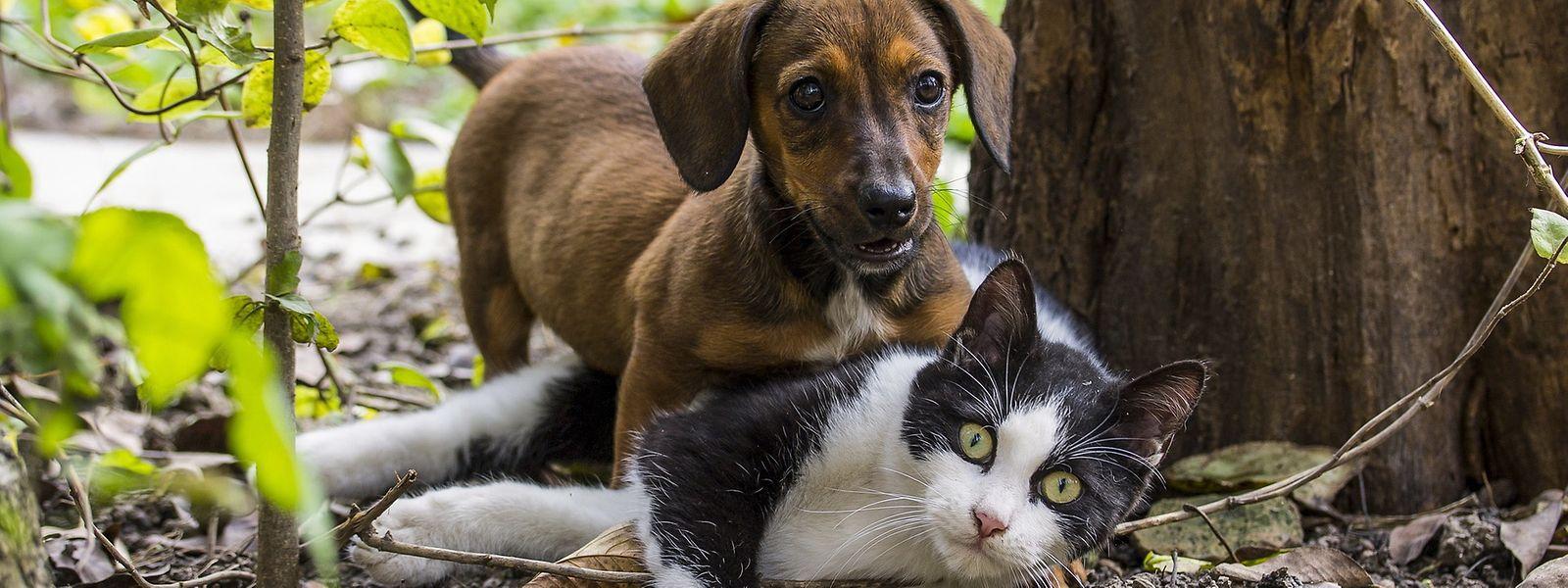 Sur les quelque 500 chiens et chats testés par le LIH dans le cadre de son étude Colide, 120 se sont révélés positifs au covid-19.