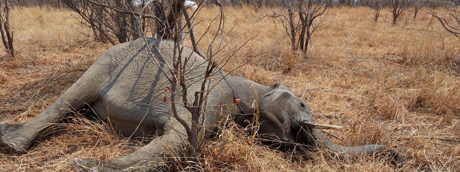 Die Dickhäuter werden wegen des Elfenbeins massakriert.
