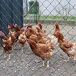 """02.03.2018, Frankreich, Bischwihr: Thierry Remonds Hühner stehen am 2.3. in ihrem Auslauf. Die elsässische Stadt Colmar verteilt kostenlos Hennen, um die Müllmenge der Anwohner zu verringern. (zu dpa-Korr """"Gratis-Hühner als Müllschlucker"""" vom 05.03.2018) Foto: Violetta Kuhn/dpa +++ dpa-Bildfunk +++"""