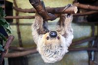 14.06.2019, Sachsen-Anhalt, Halle (Saale): Faultier Paula hängt im Zoo in Halle/Saale von einem Ast herab. Das Zweifingerfaultier aus dem Bergzoo feiert jetzt seinen 50 Geburtstag und ist damit, nach Angaben des Zoos, das älteste Faultier der Welt. 1971 war Paula im Alter von etwa zwei Jahren aus Südamerika nach Halle gekommen. Die Faultierdame ist für ihr betagtes Alter noch recht vital. Foto: Hendrik Schmidt/dpa-Zentralbild/dpa +++ dpa-Bildfunk +++