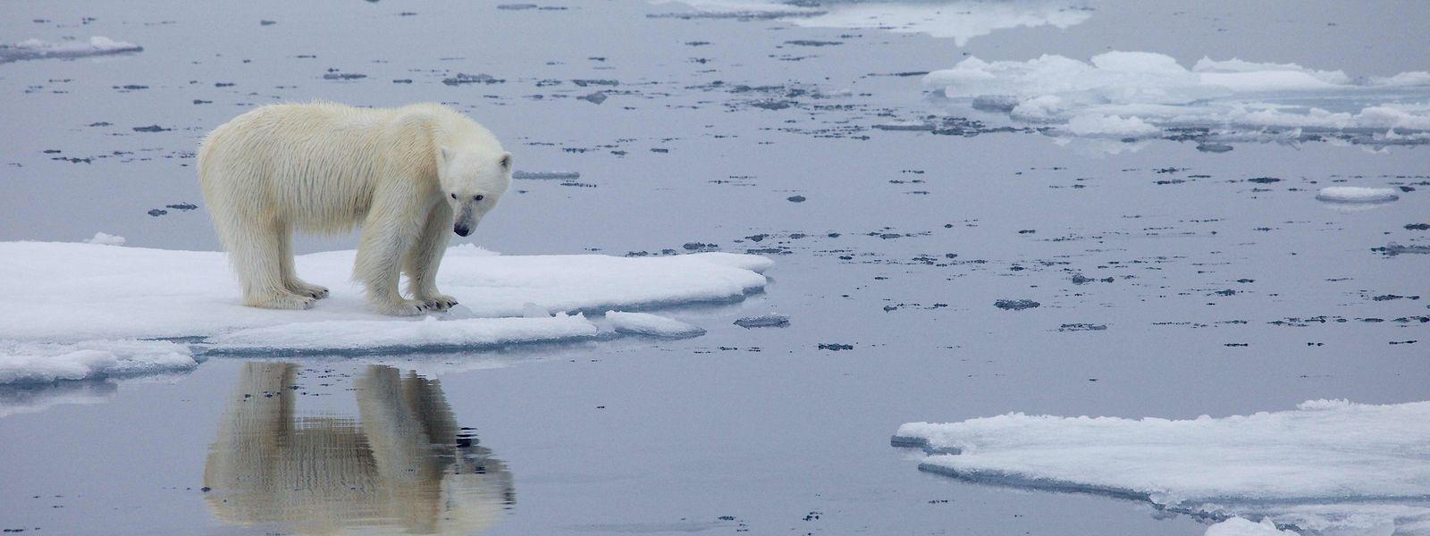 Das Eis wird immer dünner - nicht nur für den Polarbären.