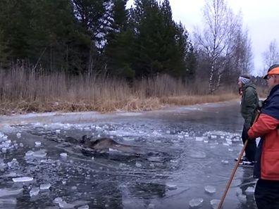 Viktor et ses amis ont aidé l'élan à regagner la rive