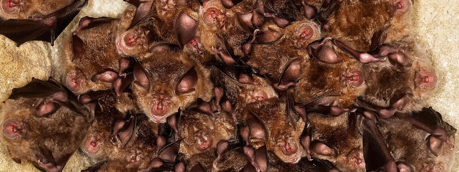 Gruppengefühl: Fledermäuse verbringen ihre Tage kopfüber hängend in Hohlräumen – oft gedrängt in mehreren Etagen übereinander.