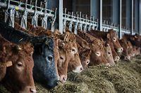 Bio Landwirtschaft - Kühe - Foto: Pierre Matgé/Luxemburger Wort