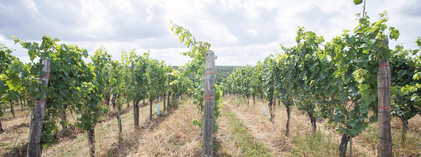 Mangels Regen trocknen die Böden in den Weinbergen zusehends weiter aus.