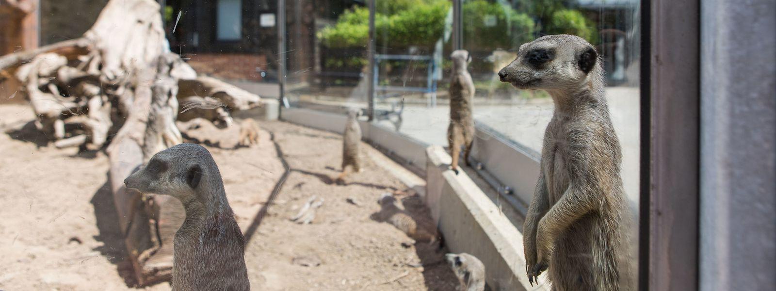 Die Erdmännchen scheinen nach den ersten Besuchern der Saison Ausschau zu halten.