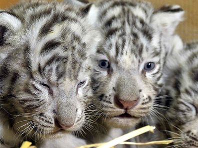 Four white tiger babies are presented at the zoo Kernhof in St Aegyd am Neuenwalde in Austria, on April 26, 2017. / AFP PHOTO / APA / HERBERT PFARRHOFER / Austria OUT