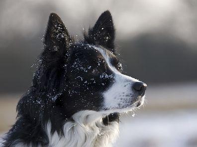 L'un des tests, effectué avec des chiens actifs dans des fermes du Pays de Galles, consistait à se frayer un chemin jusqu'à de la nourriture, visible mais située derrière une barrière.