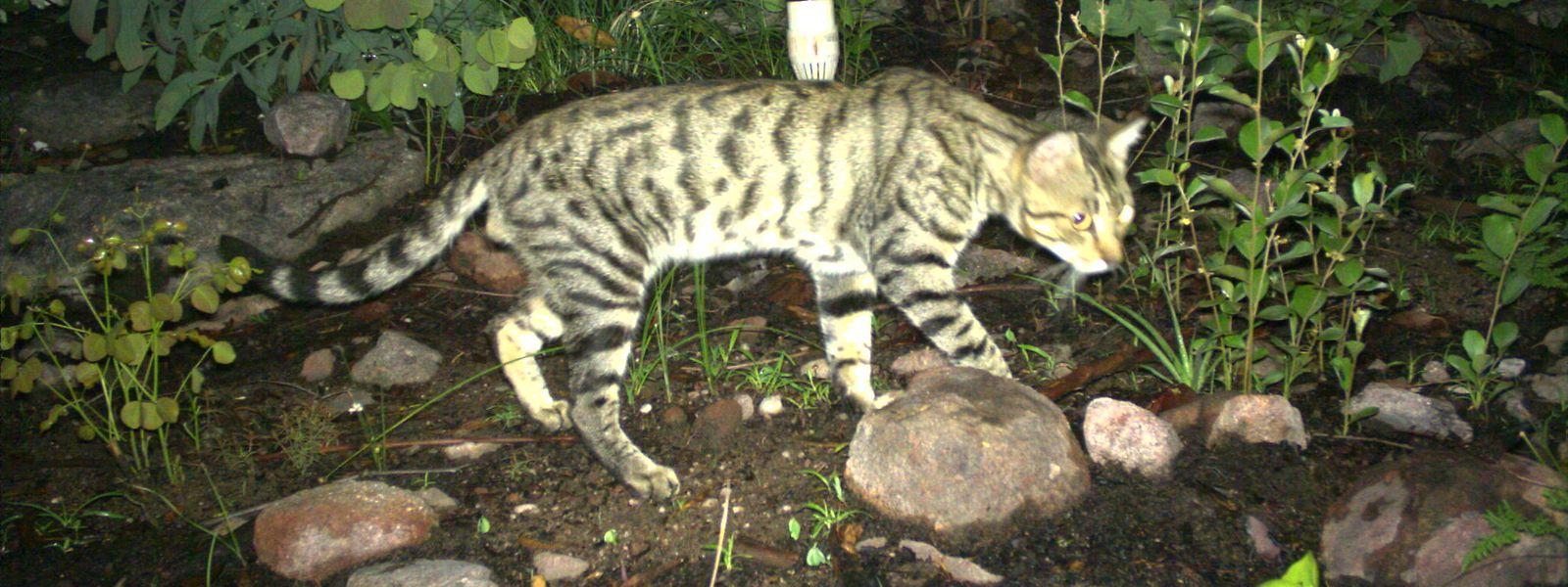 Eine Wildkatze läuft durch ein Naturschutzgebiet in einer abgelegenen Region Nordaustraliens und wird dabei von einer Überwachungskamera mit Bewegungsmelder aufgenommen.