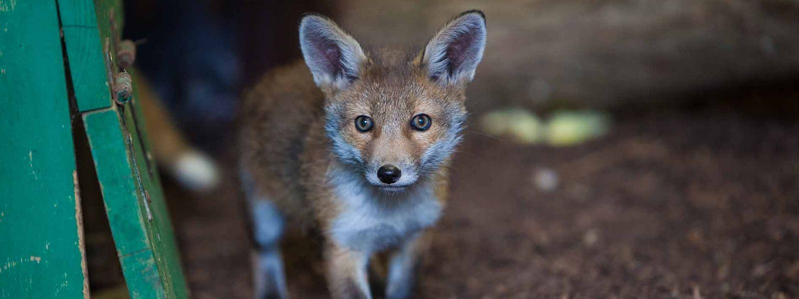 Füchse tragen nicht zur Zerstörung der Biodiversität bei, so Umweltministerin Carole Dieschbourg.
