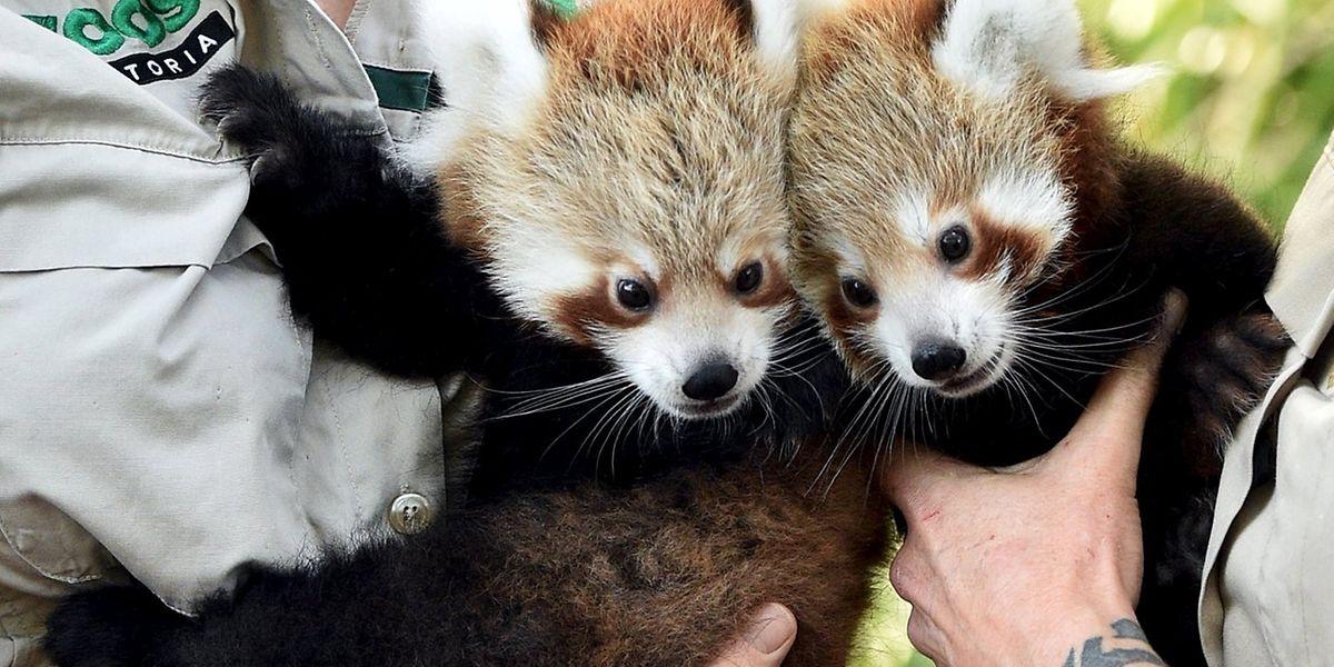 Die Roten Pandas Mandu (l.) und Keta sind die derzeitigen Lieblinge im Zoo von Melbourne