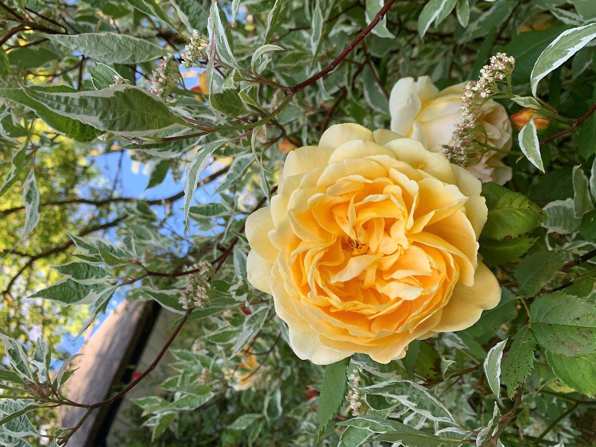 Die Cousine von Queen Elisabeth II, Princess Alexandra,wählte dieses Foto einer Golden Celebration Rose aus, als Gruß an die Gartenfreunde rund um die königliche RHA Chelsea Flower Show aus, die in diesem Jahr ausfallen muss.