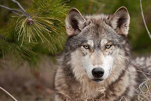 Wolf (Foto: Shutterstock)