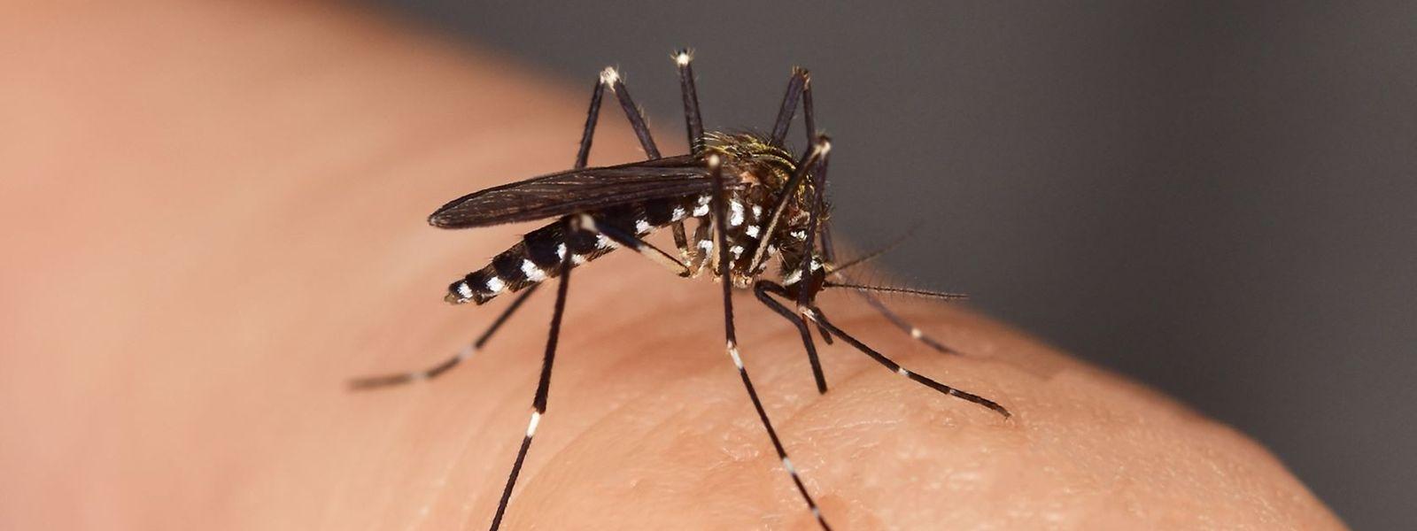 Le moustique tigre n'est pas porteur de maladie, au Luxembourg.