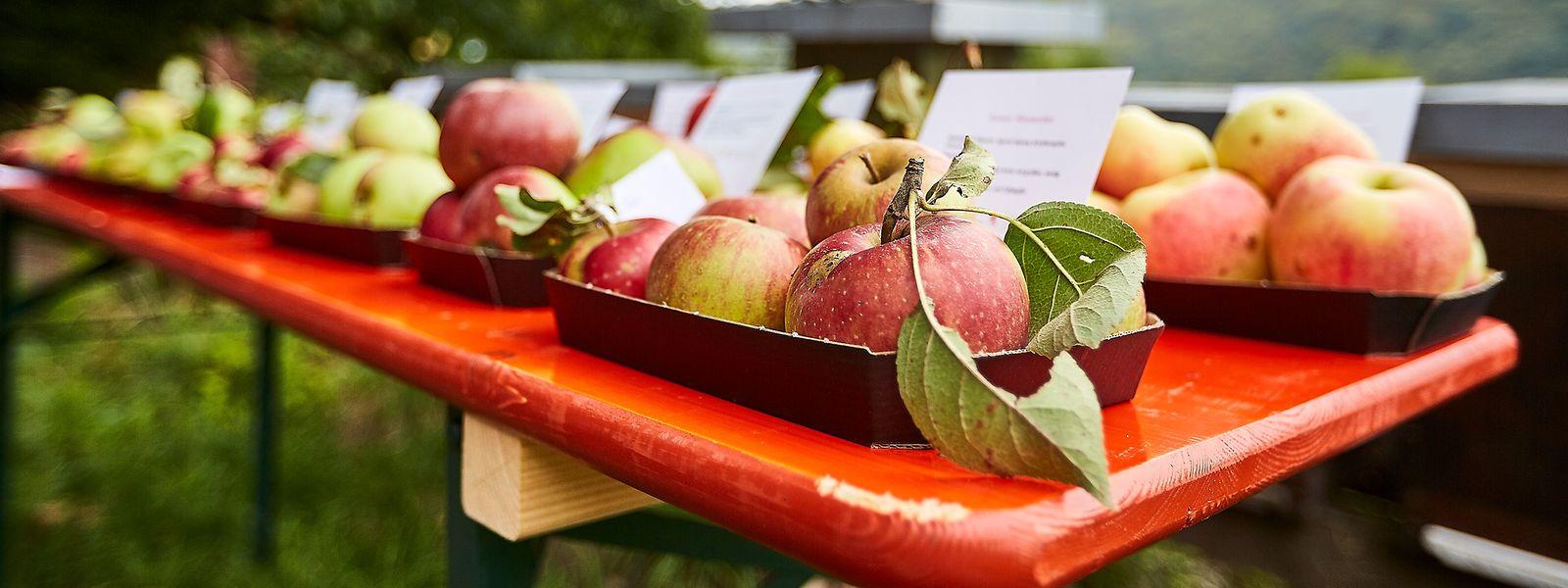 Ein reich gedeckter Tisch: mehr als 400 Obstsorten gedeihen in luxemburgischen Bongerten.