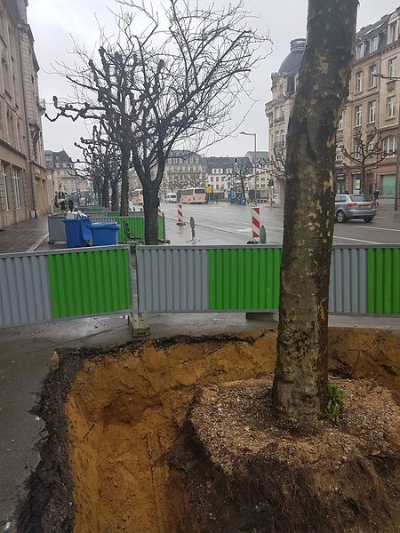 Die Bäume, die stark mit den unterirdischen Leitungen verflochten sind, müssen an einen anderen Standort verpflanzt werden.