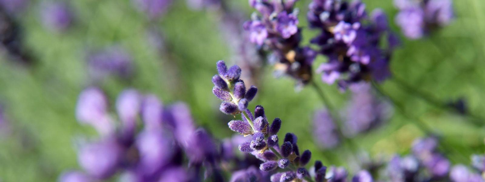 Lavendel hilft bei Kopfschmerzen.