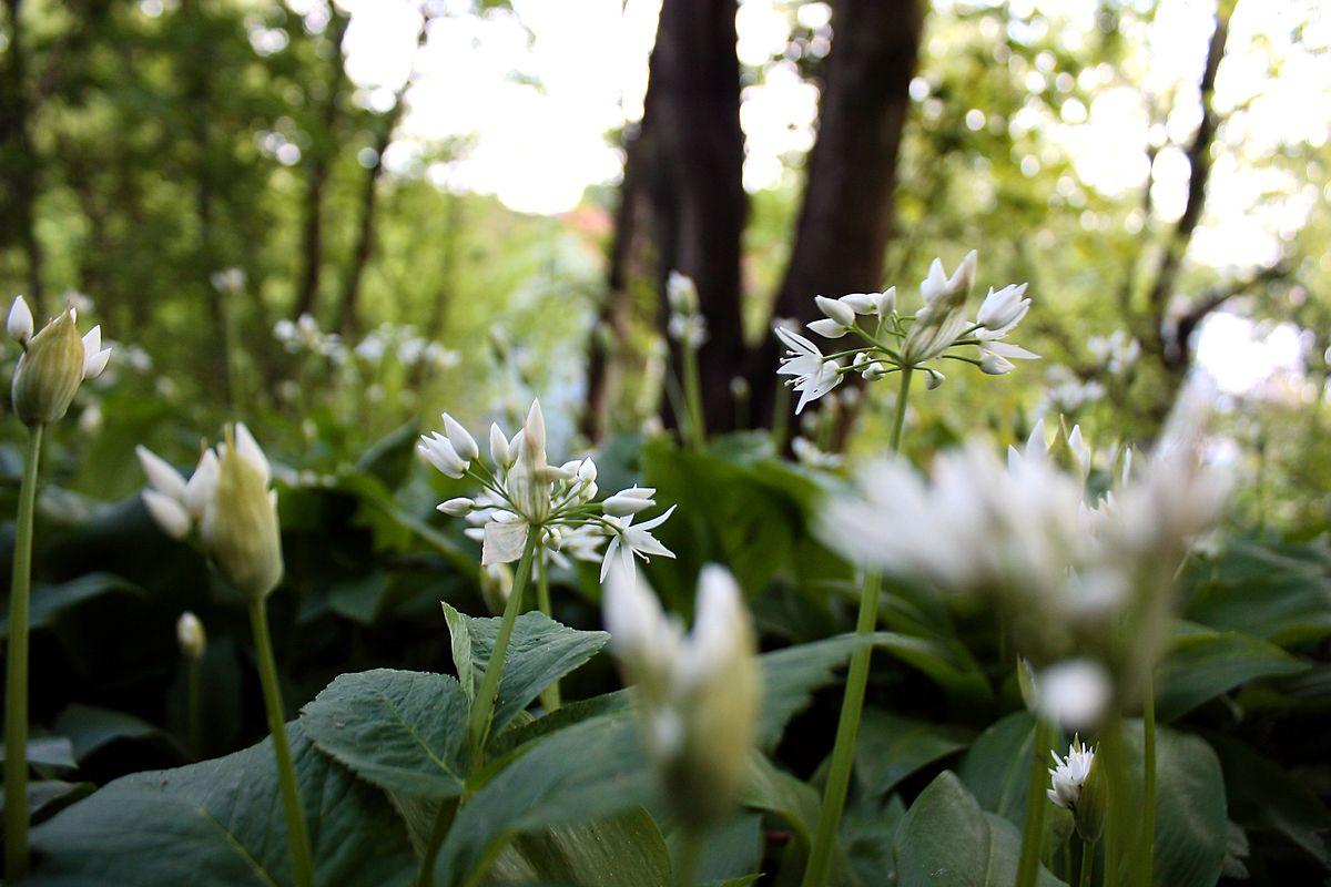 Anstelle eines grünen Rasens kann man auch Kräuter anbauen, wie beispielsweise Bärlauch.