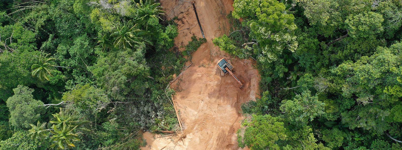 In Brasilien wird der Amazonas immer weiter abgeholzt, um das Land für andere Zwecke, wie die Viehzucht zu verwenden.