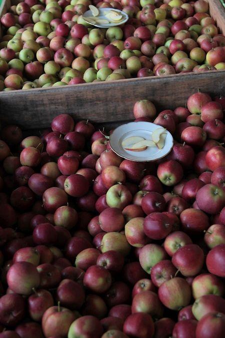 Several apple varieties at the vergers in Steinsel
