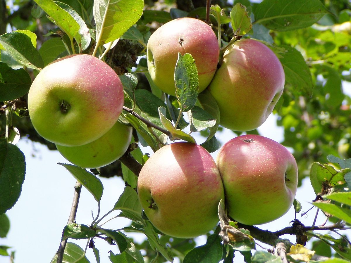 Auch alte Obstbäume können noch Früchte bekommen, wenn sie regelmäßig gepflegt werden.